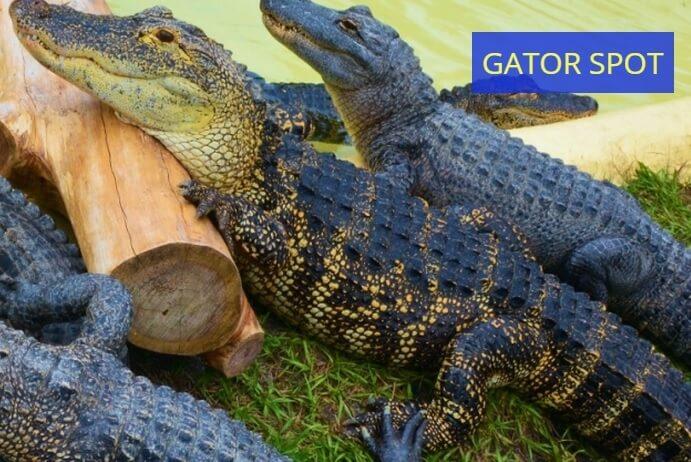 Gator Spot